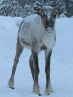 A reindeer by OldEric
