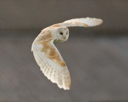 Barn owl 1aa by pixellence2