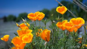 Poppies by StephGabler