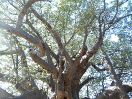 South Africa Series- The Great Tree Reaches Up by maromichan