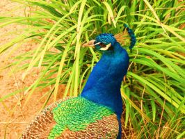 Indian Peafowl by vmgp2