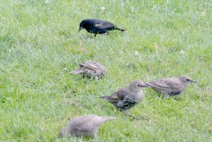 Birds On the Hunt In the Grass 2 by Miss-Tbones