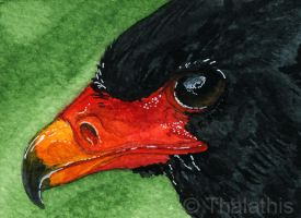 Bateleur bird of prey ACEO by Thalathis