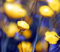 Buttercups, blooming gorgeous by karliosi