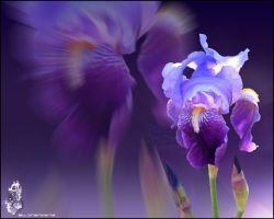 Wallpaper Iris by stenoz72
