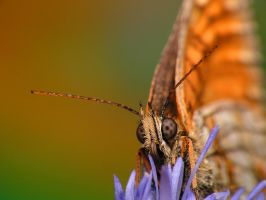203 Orange buterfly by viedymin