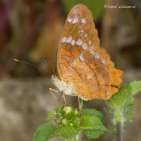 Orange butterfly on leaves by dllavaneras