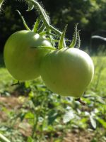 Tomato Plant 2 by ThruTheLens811