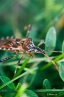 Western Conifer Seed Bug II by thriftyredhead