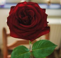A rose is a rose (3) by Madame-La-Lune