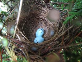 chipping sparrow eggs by Nipntuck3