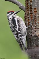 Sapsucker by mydigitalmind