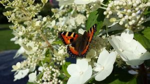 The small tortoiseshell by nebulousity