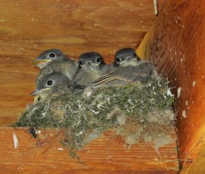 Baby Flycatchers by PridesCrossing