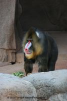 Mandrill 001 by FoxWolfPhoto