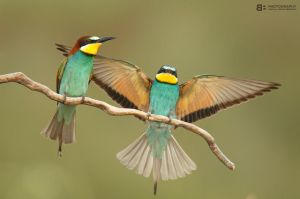 Bee Eaters - Merops Apiaster by BogdanBoev