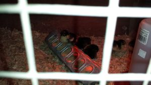 i want these baby chickens(at the feed store) by Tashiyoukai