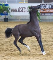 STOCK - 2014 Arabian Gala-76 by fillyrox