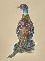 Birds 41 - Ring-Necked Pheasant by M-Everham