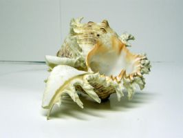Conch Shell Stock12 by NoxieStock
