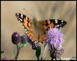 Painted Lady by fawnDragon