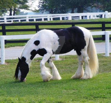Gypsy Vanner 5 by EquineStockImagery