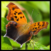 Butterfly Comma Open by Mogrianne