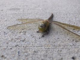 Dragonfly 5 by Skalski-Stock