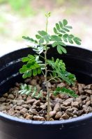 Tx Ebony Seedling 2 by lamorth-the-seeker