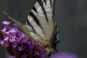 Swallowtail no.2 by crazy-and-proud2413