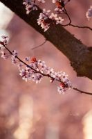 bokeh and blossoms by Lain-AwakeAtNight