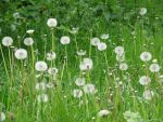 Flower 51 - dandelions field by Momotte2stocks