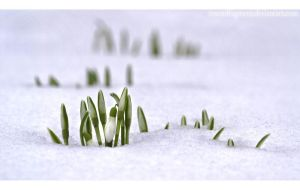 ...snowdrops... by Polychromic