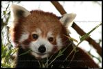 Cute lil red panda by TVD-Photography