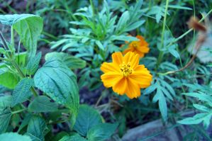 orange flower 02 by Darkside0326