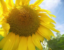Sunflower by madko