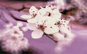 Wallpaper - Blossoms by barefootphotos