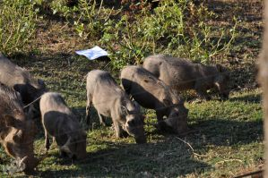 SA DAY 02-Little Warthogs II by ImLookingForTime