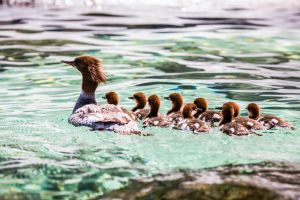 Mergansers at Tahoe by sellsworth