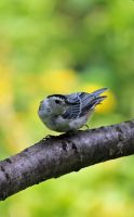 Nuthatch by shadowsheartbeat