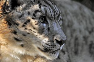 Snow Leopard Portrait by robbobert