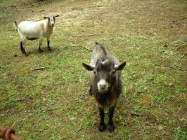 Goats 1 by tristin-stock