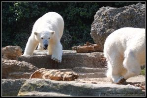 Polar bears playing tag by AF--Photography