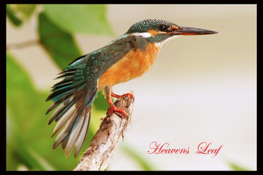 Common KingFisher 3 by Heavens-Leaf