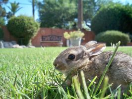 Baby Bunny-desert cottontail by HDevers