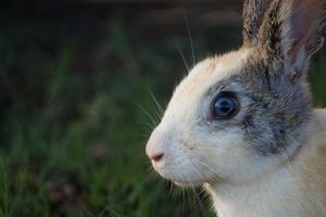 Blue Eyed Bunny from Uganda by Metaporic