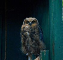 Immature Female Great Horned Owl by donnatello129