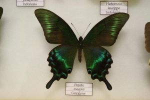 Papilio Maacki by Seraerith-stock