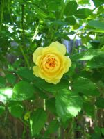 Single Yellow Rose by Cynnalia-Stock