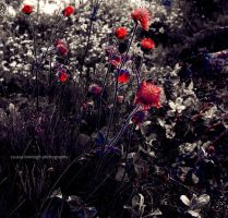 icelandic poppies by siby
